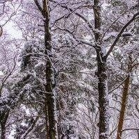 Редкий снег января :: Петр Беляков