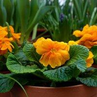 Первоцветы - ключики от лета. :: Татьяна Помогалова