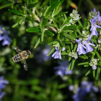 Пчела с чёрной спинкой :: Александр Деревяшкин
