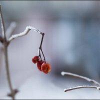 Вкусные ягодки :: Александр Тарноградский