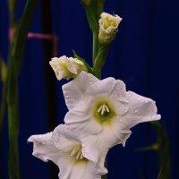 Эти белые цветы. :: сергей