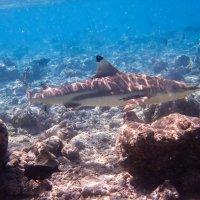 Рифовая акула :: Павел Катков