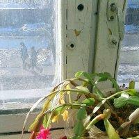 за окном фераль а на окне декабрист :: Любовь