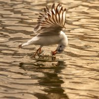 Чайка-ловкач :: JohnConnor844 N