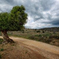 Оливковое дерево :: slavado