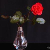 Роза красная цвела... :: Irene Irene