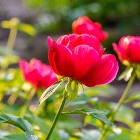 Аленький цветочек :: Константин Шабалин