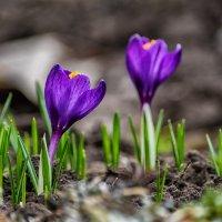 Вестники весны :: Евгений Кирюхин