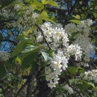 Белая черемуха :: Фотогруппа Весна-Вера,Саша,Натан