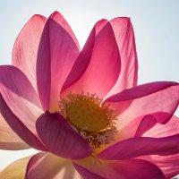 Утренний цветок лотоса :: Владимир Брагилевский