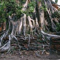 И на камнях растут деревья.... :: александр варламов
