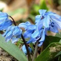 Любуюсь красотою первоцвета, - боясь нарушить волшебства шедевр... :: Татьяна Смоляниченко