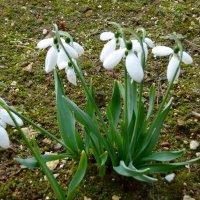 Цветут с конца февраля нежные подснежники :: Натала ***