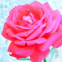 Роза на Родосе. :: Валерьян Запорожченко