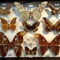 Коллекция бабочек :: Сергей Беличев
