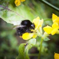 Шмель собирает пыльцу. :: Alexandr Gunin