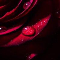 Красная роза :: TATYANA PODYMA