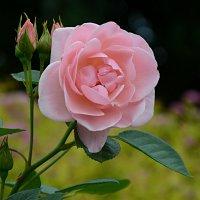 Роза... :: Наташа *****
