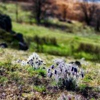 Сон-трава на берегу :: Евгений Кирюхин