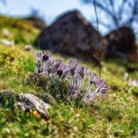 Цвет сон-травы :: Евгений Кирюхин