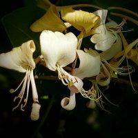 Цветы жимолости :: dana smirnova