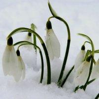 Снежный подснежник :: Елена Якушина