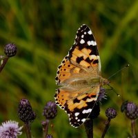 опять про бабочек...78 :: Александр Прокудин