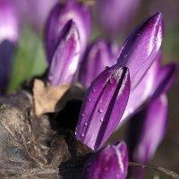 Весны цветы... :: Александр Резуненко