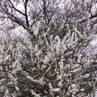 абрикоса цветёт  рясно :: вячеслав коломойцев