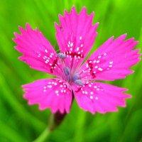 Гвоздика травянка. :: оля san-alondra