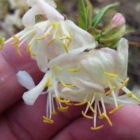 Жимолость цветёт  слива :: вячеслав коломойцев