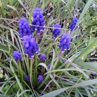 Мышыный или гадючный цветок :: вячеслав коломойцев