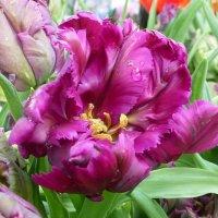 Тюльпаны попугайные :: Лидия Бусурина