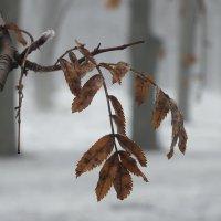листья рябины :: Татьяна Найдёнова