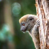 Молодь...Лемурляндия.Мадагаскар! :: Александр Вивчарик