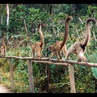 Лемуры тихою толпой... Мадагаскар! :: Александр Вивчарик