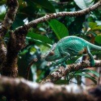 Мадагаскарский хамелеон...Путешествуя по Мадагаскару! :: Александр Вивчарик