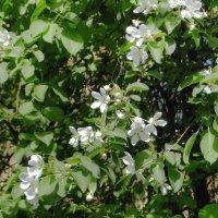 Яблоневый цвет :: Фотогруппа Весна-Вера,Саша,Натан