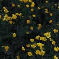 Желтые цветочки :: Rada