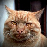 Кот по имени Вирус в короне не нуждается... :: Сергей Порфирьев