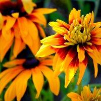 Рудбекия - осенний цветок :: Татьяна Лютаева