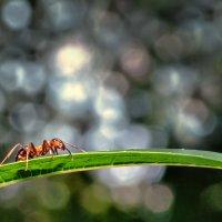 муравей :: Андрей Ермолаев