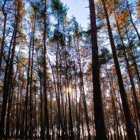 Зимний сосновый лес :: Сергей Сошко