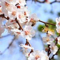 Цветение и пчёлы :: Юрий Гайворонский