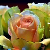 Розы :: Сергей Басов