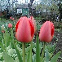 тюльпаны :: Иван Иванов
