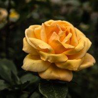 Роза :: Марк Э