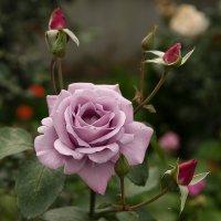 Роза :: Марк
