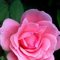 Роза в Сочи :: Татьяна ***
