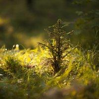 ...в лесу родилась ёлочка!.. :: Олег Берсенев